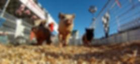 pigs 2015.jpg