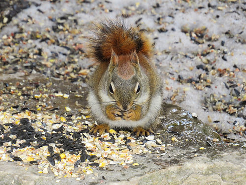 Red squirrel is enjoying bird food for d
