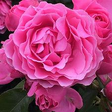 rose de damas.jpg