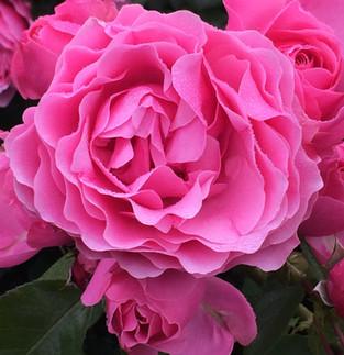 La Rose, merveille des merveilles