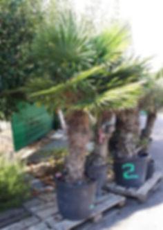 palmier 160.jpg