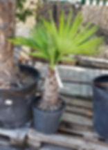 petit palmier.jpg