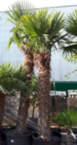 Palmiers MCA H 180/200 cm