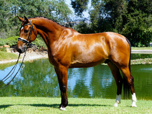 """Elvis"" - Imported 2009 KWPN Gelding - 70% Intermediare Scores in USA"