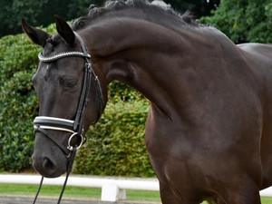 """""""Bahia"""" 2013 Hanoverian Mare Bon Bravour x Sarkozy Young Horse Prospect"""