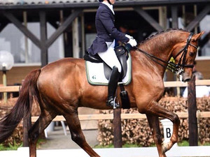 """Grangeville"" - 2011 KWPN Gelding Ready for Small Tour, Grand Prix Prospect for AA/YR"