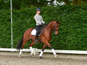 """Jive"" - Elegant 2014 KWPN Gelding Competed 3rd Level"
