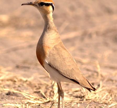 Temminckrennvogel