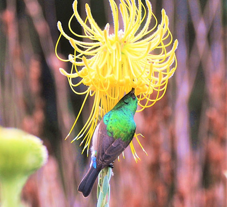 Goldbrustnektarvogel