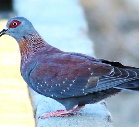 Guineataube