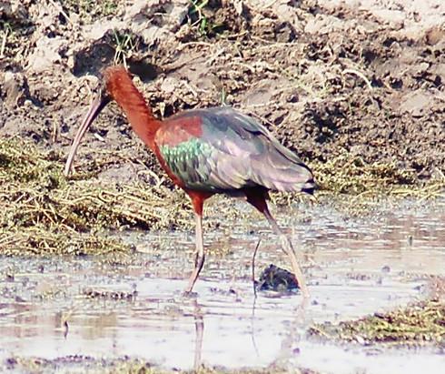 Brauner Sichler- Glossy Ibis