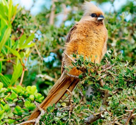 Braunflügelmausvogel