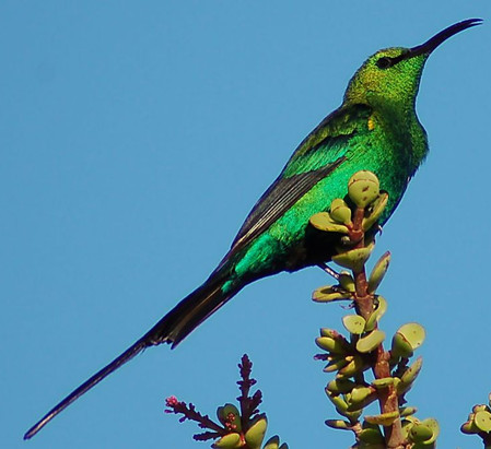 Malachidnektarvogel