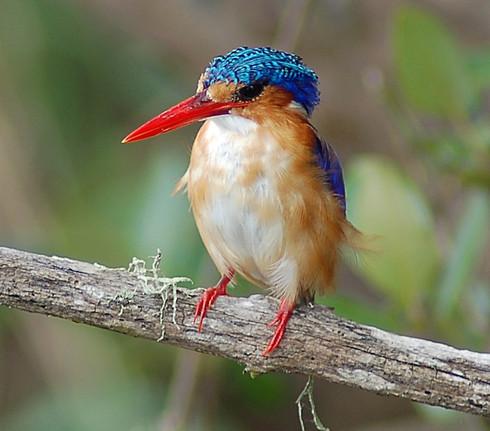 Malachiteisvogel