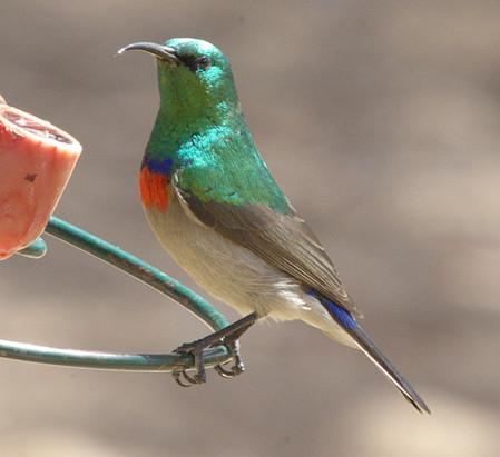 Halsbandnektarvogel