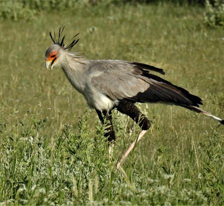 Sekretärsvogel
