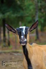 Tammy's goat.jpg