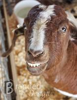 Meat Goat.jpg