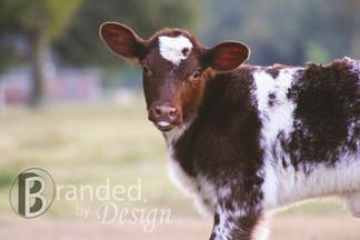 Shorthorn Calf.jpg
