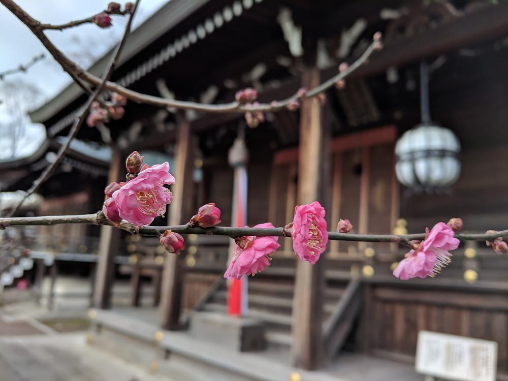 Kyoto plum blossom Japan furoshiki knot wrap wrapping cloth