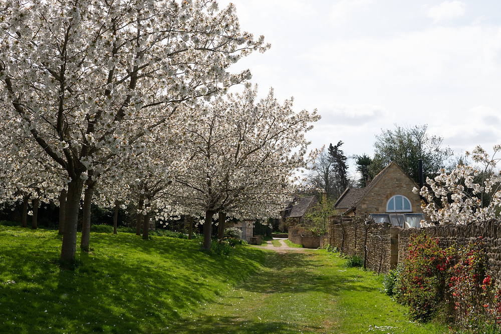 cherry blossom orchard in the Cotswolds