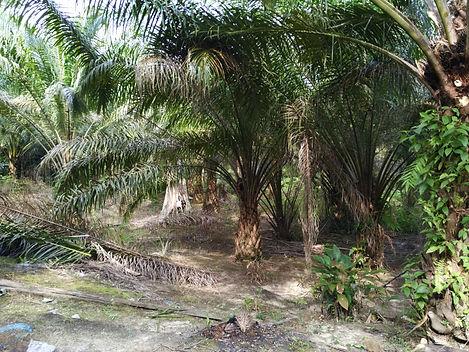 Sarawak Iban farm.jpg