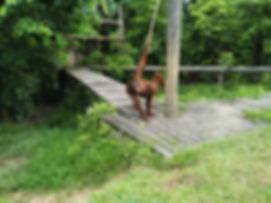 Sabah_orangutan.jpg