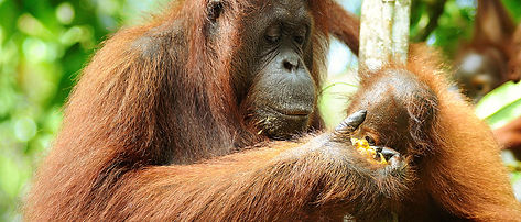 sfc orangutan.jpg