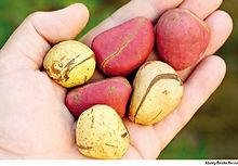 Kola-nuts2.jpg
