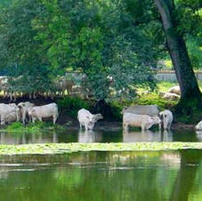 The intense heat drove the cows to the water