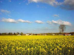 yellow-fields.jpg