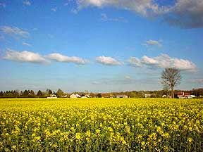 yellow-fields.jpg