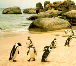 penguins-at-simons-town.jpg