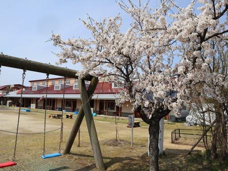 園庭の桜も満開ですが。。。