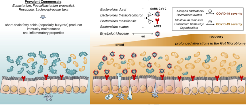 Figure 1.Gut microbiota in healthy Vs. COVID-19 patients (Zuo et al. 2020)