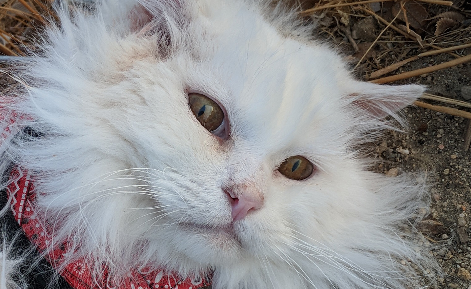 Frost - Rescue Cat From South Korea