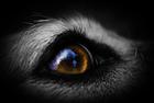 dog eye307632705