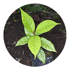 Plantula .png