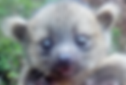 Baby Olinguito.png