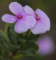 Catharanthus roseus.png
