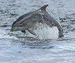 Golfinho / Dolphin Tursiops Truncatus