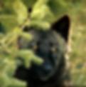 Lobo Tibetano / Tibetan Wolf