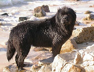 Terranova Preto / Black Newfoundland