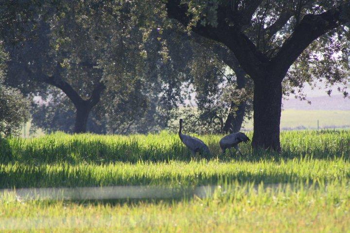 70-grullas-extremadura-azuaga-birding