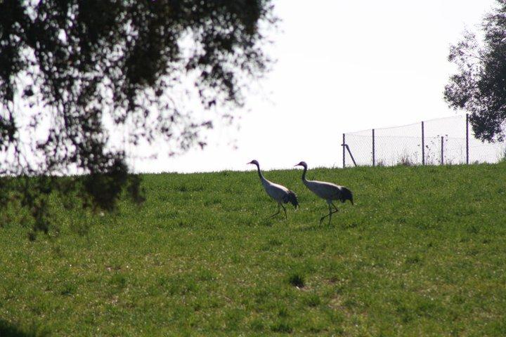 52-grullas-extremadura-azuaga-birding