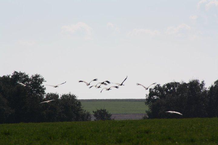 60-grullas-extremadura-azuaga-birding