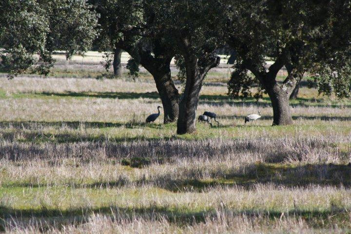 42-grullas-extremadura-azuaga-birding
