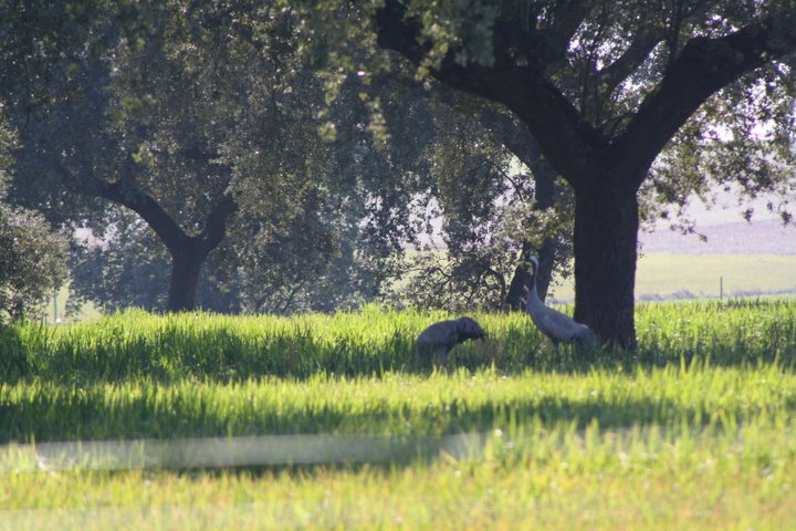 69-grullas-extremadura-azuaga-birding