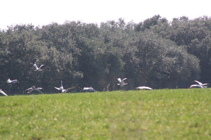 56-grullas-extremadura-azuaga-birding
