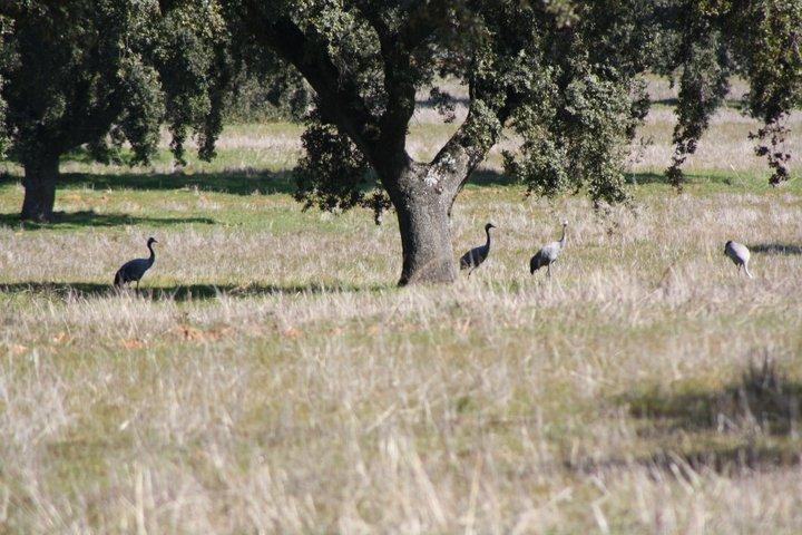 72-grullas-extremadura-azuaga-birding